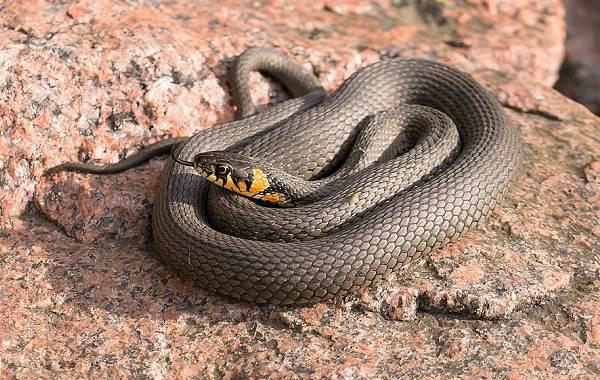 Ядовитая змея похожая на ужа