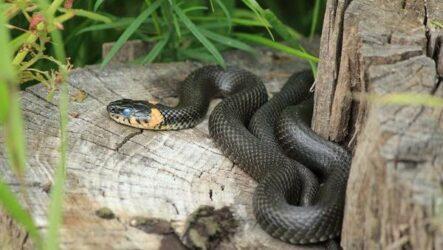 Уж змея. Описание, особенности, виды, образ жизни и среда обитания ужа