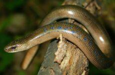 Веретеница ящерица. Описание, особенности, виды, образ жизни и среда обитания веретеницы