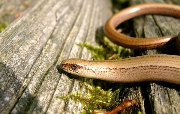 Веретеница-ящерица-Описание-особенности-виды-образ-жизни-и-среда-обитания-веретеницы-6