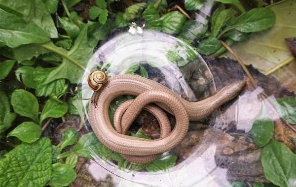 Веретеница-ящерица-Описание-особенности-виды-образ-жизни-и-среда-обитания-веретеницы-9
