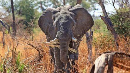 Виды слонов. Описание, особенности, среда обитания и фото видов слонов
