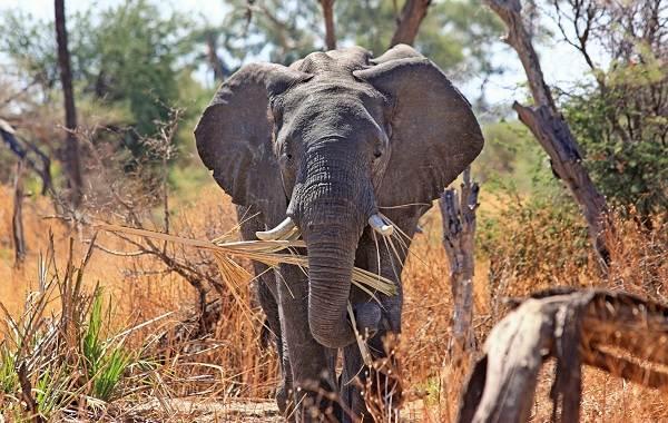 Виды-слонов-Описание-особенности-среда-обитания-и-фото-видов-слонов-1