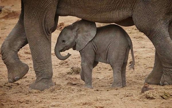 Виды-слонов-Описание-особенности-среда-обитания-и-фото-видов-слонов-14