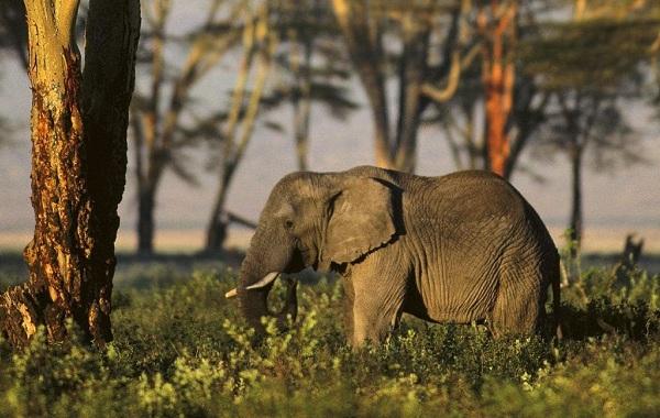 Виды-слонов-Описание-особенности-среда-обитания-и-фото-видов-слонов-15