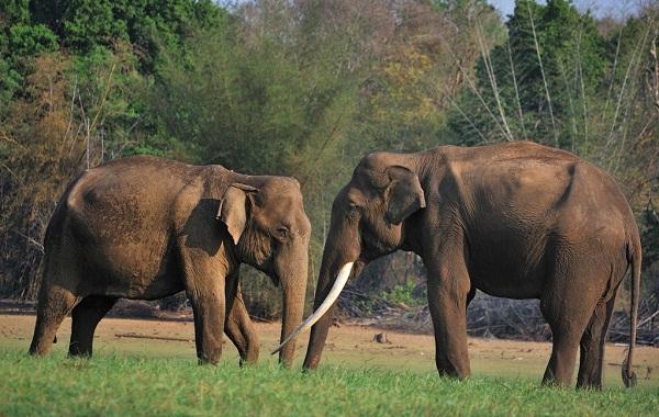 Виды-слонов-Описание-особенности-среда-обитания-и-фото-видов-слонов-16