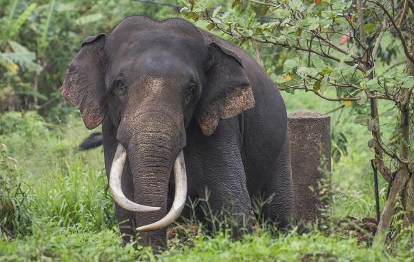Виды-слонов-Описание-особенности-среда-обитания-и-фото-видов-слонов-17