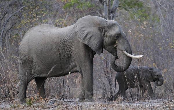 Виды-слонов-Описание-особенности-среда-обитания-и-фото-видов-слонов-18