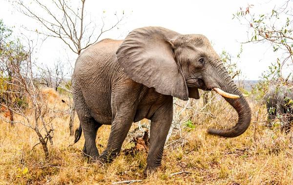Виды-слонов-Описание-особенности-среда-обитания-и-фото-видов-слонов-19
