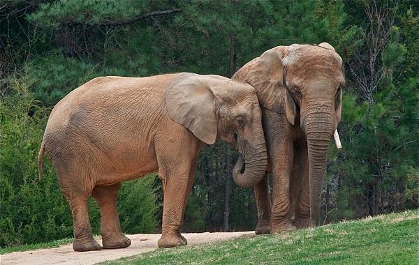 Виды-слонов-Описание-особенности-среда-обитания-и-фото-видов-слонов-20