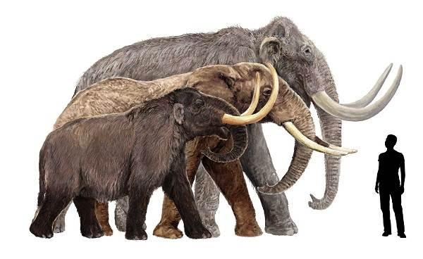 Виды-слонов-Описание-особенности-среда-обитания-и-фото-видов-слонов-4