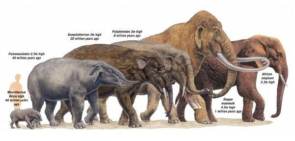 Виды-слонов-Описание-особенности-среда-обитания-и-фото-видов-слонов-7