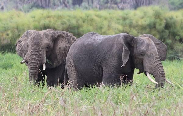 Виды-слонов-Описание-особенности-среда-обитания-и-фото-видов-слонов-8