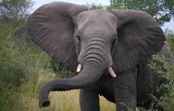 Виды-слонов-Описание-особенности-среда-обитания-и-фото-видов-слонов-9