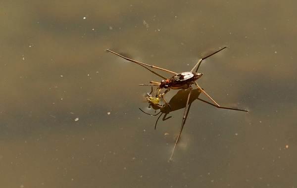 Водомерка-насекомое-Описание-особенности-виды-образ-жизни-и-среда-обитания-водомерки-1