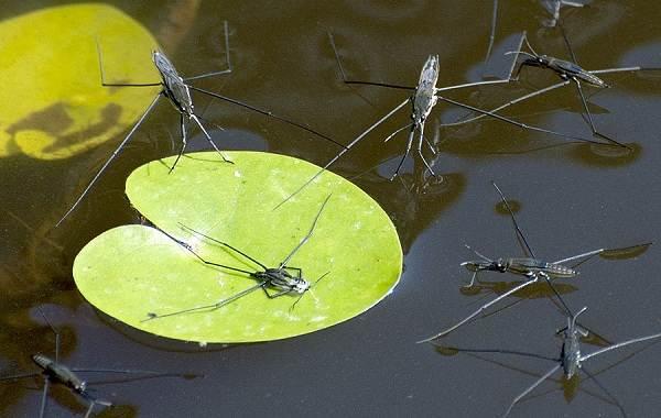 Водомерка-насекомое-Описание-особенности-виды-образ-жизни-и-среда-обитания-водомерки-5