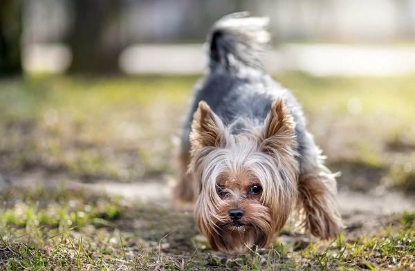 Йоркширский-терьер-собака-Описание-особенности-виды-уход-и-цена-породы-1