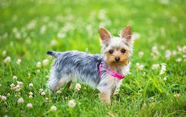 Йоркширский-терьер-собака-Описание-особенности-виды-уход-и-цена-породы-10