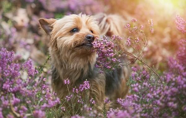 Йоркширский-терьер-собака-Описание-особенности-виды-уход-и-цена-породы-11