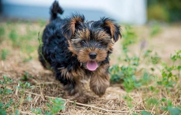 Йоркширский-терьер-собака-Описание-особенности-виды-уход-и-цена-породы-12