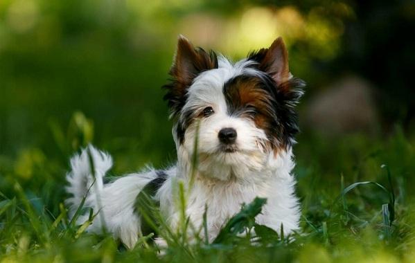 Йоркширский-терьер-собака-Описание-особенности-виды-уход-и-цена-породы-13