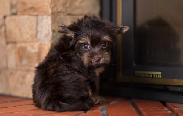 Йоркширский-терьер-собака-Описание-особенности-виды-уход-и-цена-породы-14