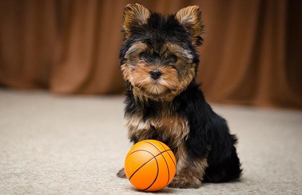 Йоркширский-терьер-собака-Описание-особенности-виды-уход-и-цена-породы-15