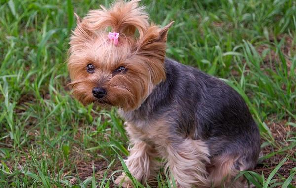 Йоркширский-терьер-собака-Описание-особенности-виды-уход-и-цена-породы-16