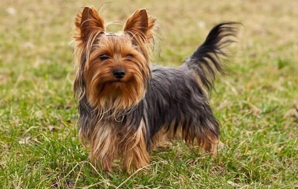 Йоркширский-терьер-собака-Описание-особенности-виды-уход-и-цена-породы-3