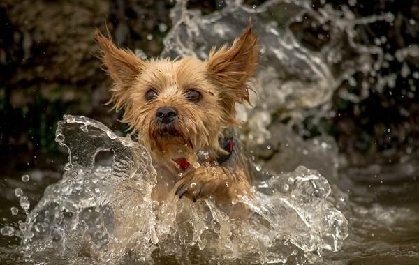 Йоркширский-терьер-собака-Описание-особенности-виды-уход-и-цена-породы-4