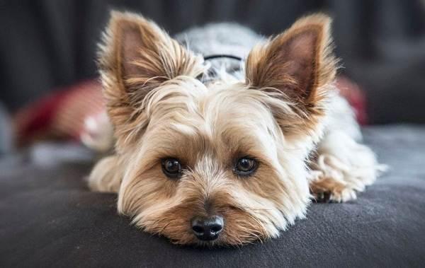 Йоркширский-терьер-собака-Описание-особенности-виды-уход-и-цена-породы-5