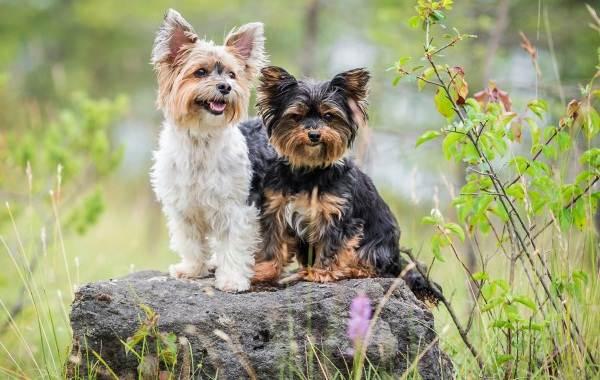Йоркширский-терьер-собака-Описание-особенности-виды-уход-и-цена-породы-6
