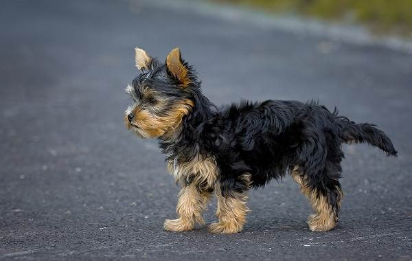 Йоркширский-терьер-собака-Описание-особенности-виды-уход-и-цена-породы-7