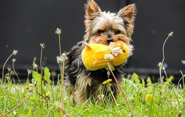 Йоркширский-терьер-собака-Описание-особенности-виды-уход-и-цена-породы-8
