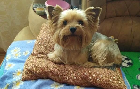 Йоркширский-терьер-собака-Описание-особенности-виды-уход-и-цена-породы-9