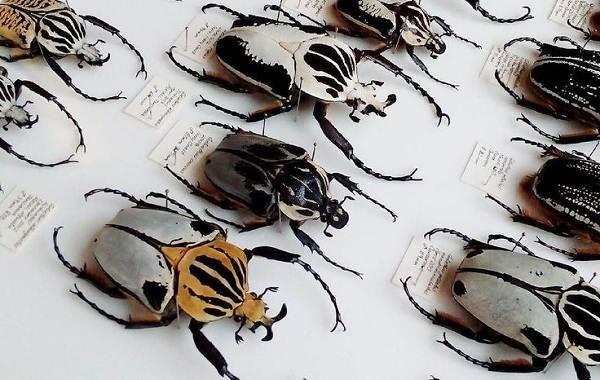 Жук-голиаф-насекомое-Описание-особенности-виды-и-среда-обитания-жука-голиафа-10