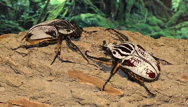 Жук-голиаф-насекомое-Описание-особенности-виды-и-среда-обитания-жука-голиафа-12