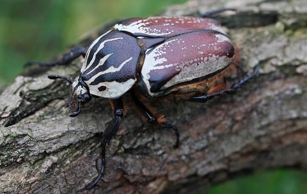 Жук-голиаф-насекомое-Описание-особенности-виды-и-среда-обитания-жука-голиафа-13