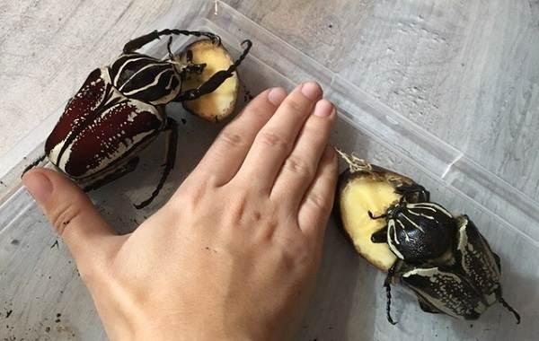 Жук-голиаф-насекомое-Описание-особенности-виды-и-среда-обитания-жука-голиафа-4