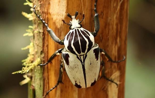 Жук-голиаф-насекомое-Описание-особенности-виды-и-среда-обитания-жука-голиафа-5