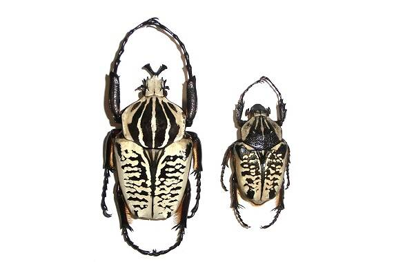 Жук-голиаф-насекомое-Описание-особенности-виды-и-среда-обитания-жука-голиафа-6