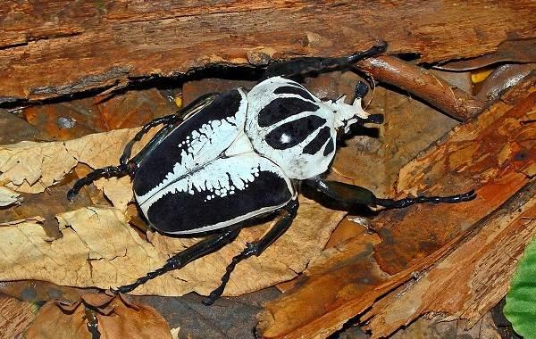 Жук-голиаф-насекомое-Описание-особенности-виды-и-среда-обитания-жука-голиафа-7