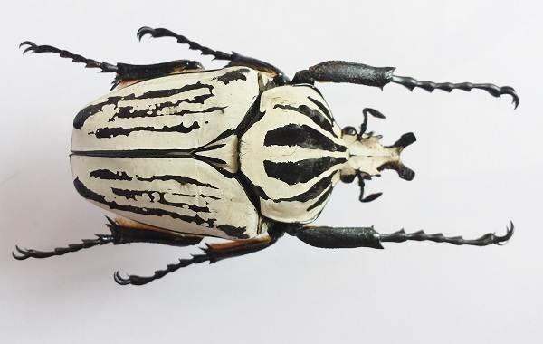 Жук-голиаф-насекомое-Описание-особенности-виды-и-среда-обитания-жука-голиафа-9