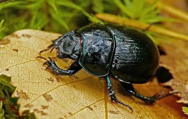 Жук-навозник-насекомое-Описание-особенности-виды-образ-жизни-и-среда-обитания-навозника-1