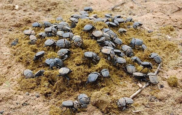 Жук-навозник-насекомое-Описание-особенности-виды-образ-жизни-и-среда-обитания-навозника-10
