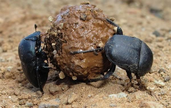 Жук-навозник-насекомое-Описание-особенности-виды-образ-жизни-и-среда-обитания-навозника-11