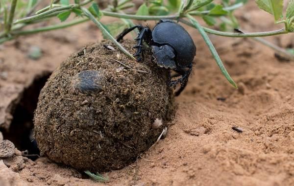 Жук-навозник-насекомое-Описание-особенности-виды-образ-жизни-и-среда-обитания-навозника-12