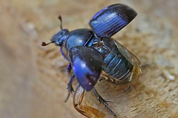 Жук-навозник-насекомое-Описание-особенности-виды-образ-жизни-и-среда-обитания-навозника-13