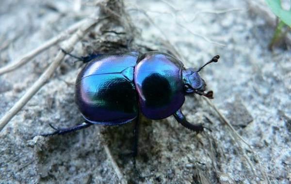 Жук-навозник-насекомое-Описание-особенности-виды-образ-жизни-и-среда-обитания-навозника-3
