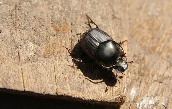 Жук-навозник-насекомое-Описание-особенности-виды-образ-жизни-и-среда-обитания-навозника-4
